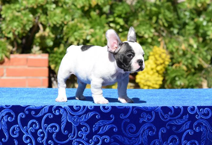 bulldog frances cachorro disponible Abel