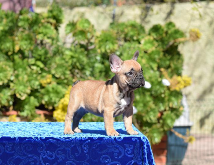 disponible cachorro macho bulldog frances Agathon 6