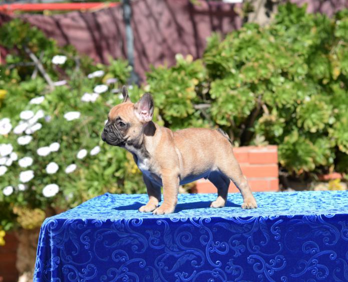 disponible cachorro macho bulldog frances Agathon 7