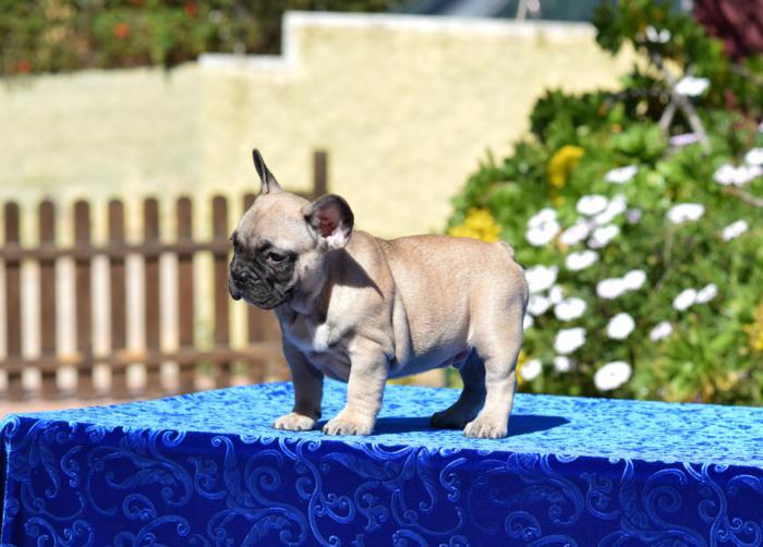 cachorrito de bulldog frances disponible Aitor 2