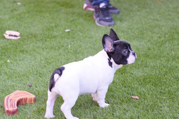 cachorrita bulldog frances Angelica20