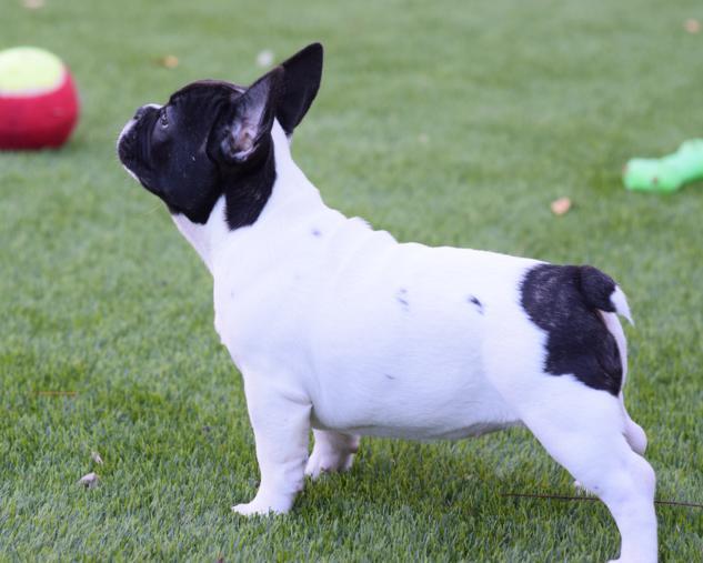 cachorrita bulldog frances 23