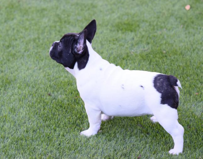 cachorrita bulldog frances angelica 24
