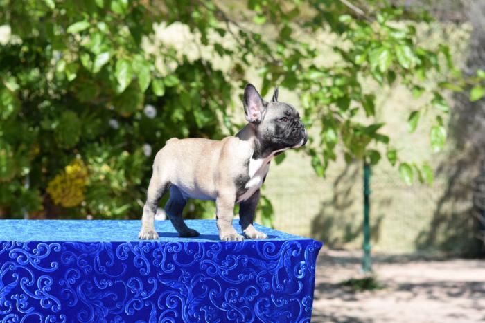 macho bulldog frances cachorro Carles 4