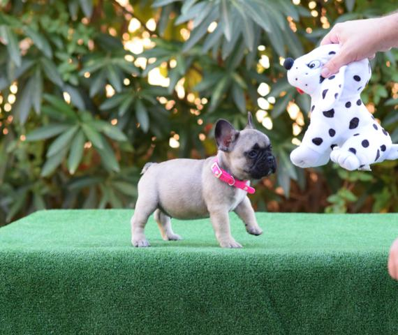 cachorrita bulldog frances nelly 4