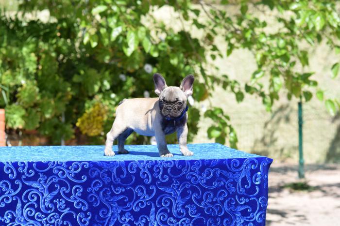 cachorrita hembra bulldog frances Ninfa 4