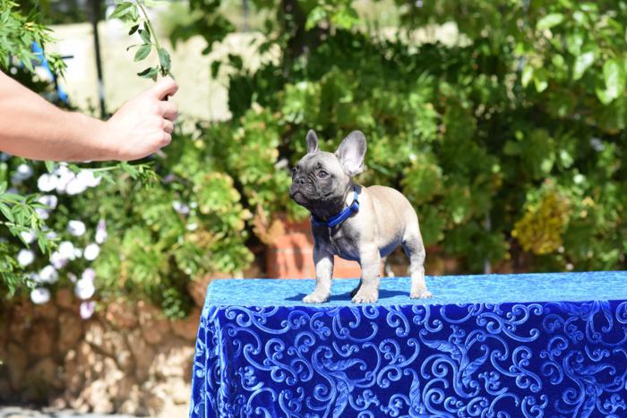 cachorrita hembra bulldog frances Ninfa 6