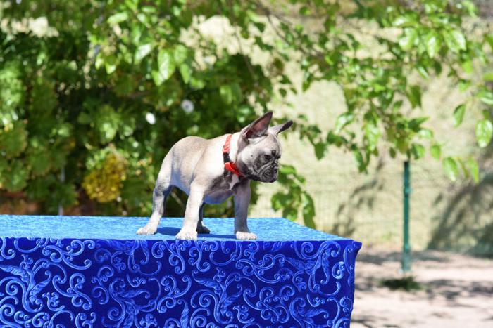 cachorrita de bulldog frances hembra Rebec 5