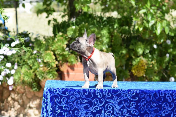 cachorrita de bulldog frances hembra Rebec 6