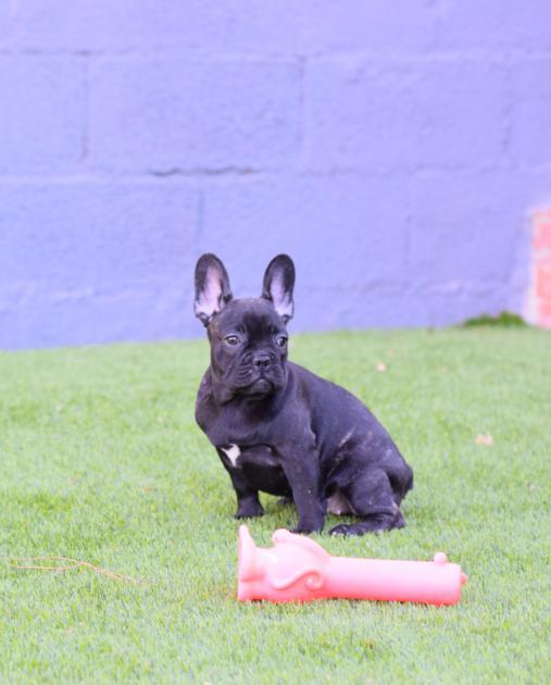 cachorrita de bulldog frances Agatha 22
