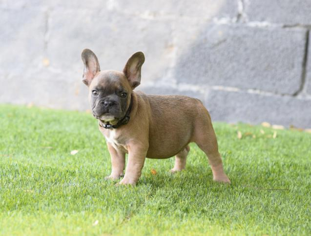 cachorro bulldog frances blue fawn, macho Celestino