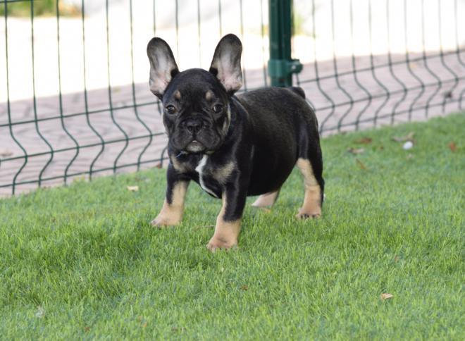 cachorros bulldog frances comprar black and tan magnifico temperamento
