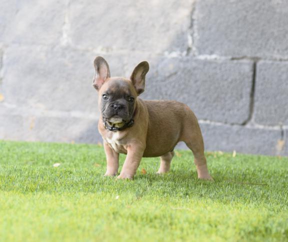 guapo cachorro bulldog frances blue fawn, macho Celestino 2