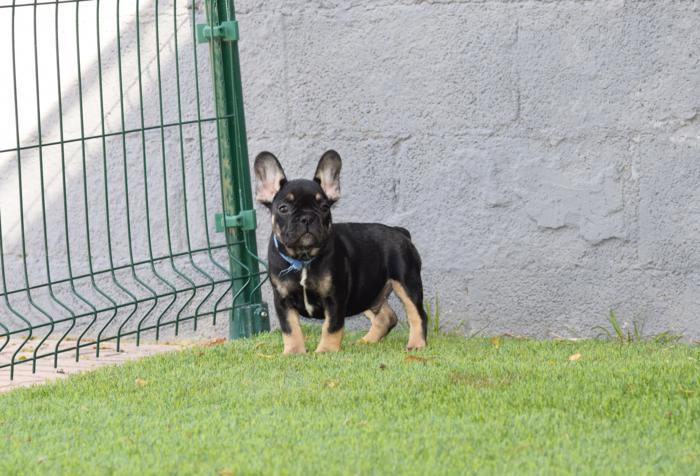 comprar cachorros bulldog frances blue fawn macho black and tan 5