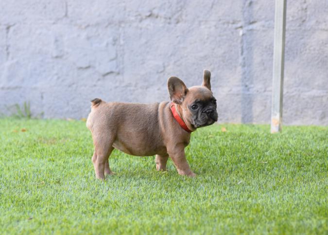 venta de cachorros bulldog frances, blue fawn hembra donna
