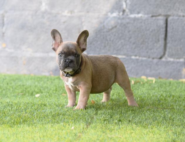 Cachorros bulldog frances venta, macho blue fawn, Celestino 5