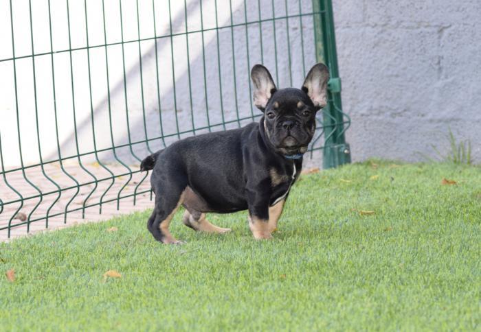 bulldog frances mini black and tan macho con temperamento akemi