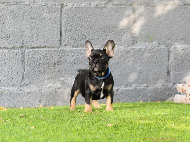 cachorros bulldog frances en venta sin temperamento agresivo 3